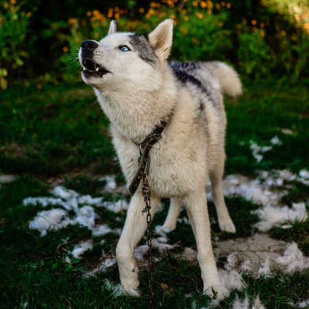Husky sheds hair, combed and happy dog resting on the street. Howling Siberian Husky chained 2021.