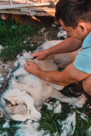 A playful husky dog is happy with the procedure, the owner helps the dog with excess hair that sheds. 2020 版權商用圖片