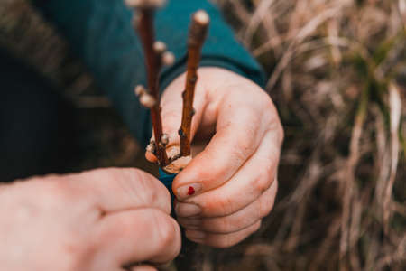 Spring grafting of trees, propagation of fruit trees by grafting. 2020