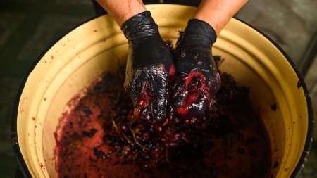 Winemaking at home, squeezing grape juice by hand, the natural fermentation process. new
