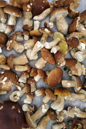 White mushrooms, dietary and tasty white mushrooms, seasonal edible wild mushrooms are collected in the forest.new