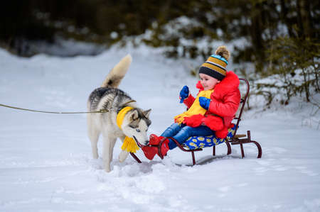 A girl on a sleigh plays with her pet husky, winter games with a dog. New Year's walk through the fairy forest.