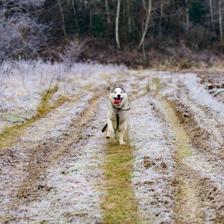 riding dog of the Siberian Husky breed in the woods on a walk, morning frosts on the grass in late autumn. new