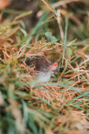 A small gray mole climbed out of the ground, an animal in the grass. new