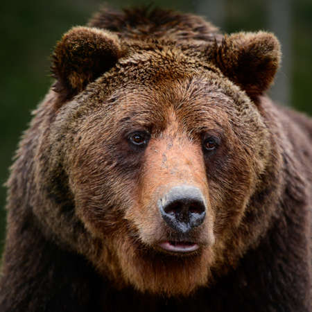 Brown bears in the wild, a large mammal after hibernation, a predator in the wild forest and wildlife. new