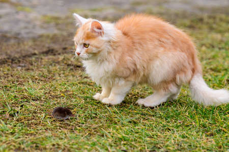 A red cat plays with its prey, cat food, mole and cat. new
