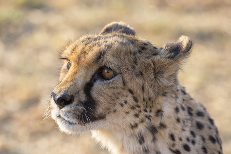 Cheetah Standard-Bild