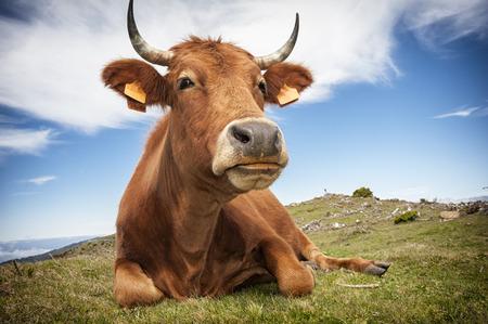 Funny cow photo
