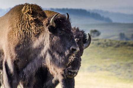 s horn: Bisons Stock Photo