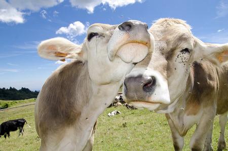 Vaches dans l'amour Banque d'images