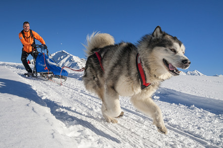 allover: Alpe Giumello  ( Italy ) 01242015: in the Italian alps in january there was the 11th meeting of the Alaskan Malamue breed where people from allover Europe come to show theyr dogs