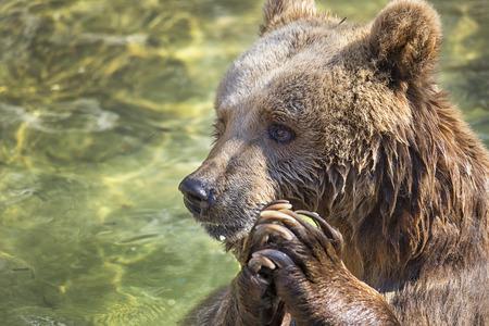brown white: Praying bear