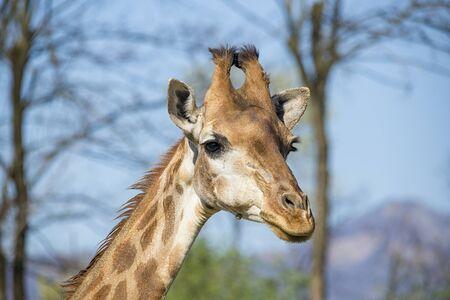 giraffa camelopardalis: Giraffe