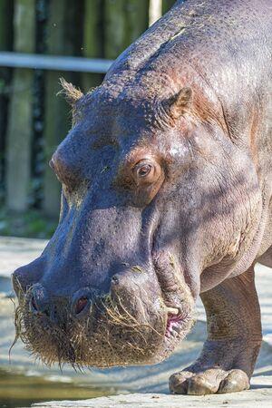 hippopotamus: Hipopótamo Foto de archivo