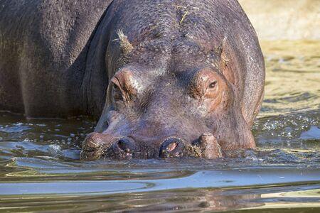hippopotamus: Hipop�tamo Foto de archivo