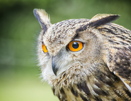 royal: Royal owl Stock Photo