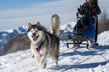 Sled dog Standard-Bild