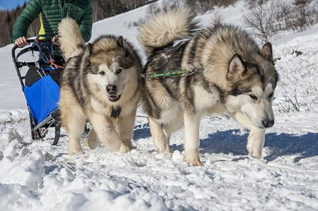 Sled dog Фото со стока