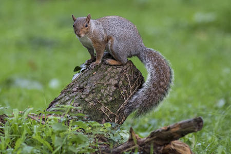 squirrel isolated: Squirrel