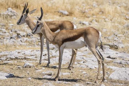 tanzania antelope: Springbok