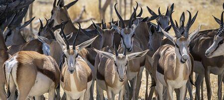 antidorcas: Springbok