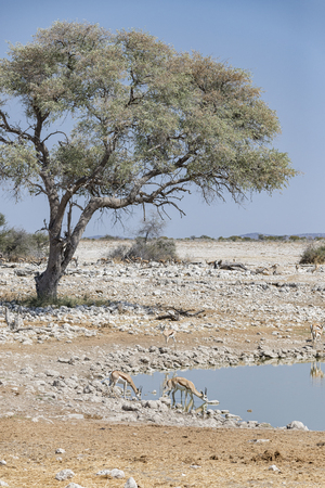 antidorcas: African landscape