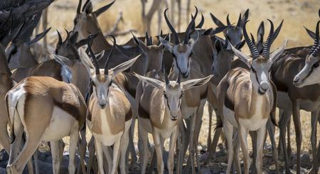 tanzania antelope: Africans fauna