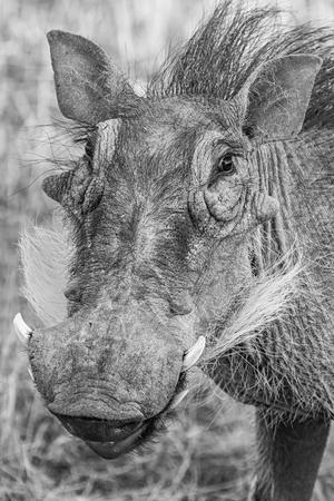 bush hog: Warthog