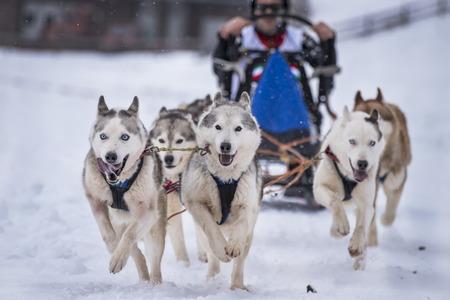 mushing: Sled dog Stock Photo