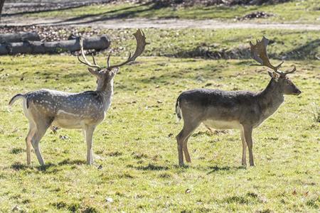 rutting: Fallow deer