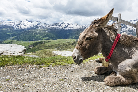 sitted: Donkey in the alps Stock Photo