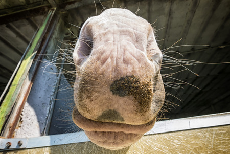 nose: Horse nose