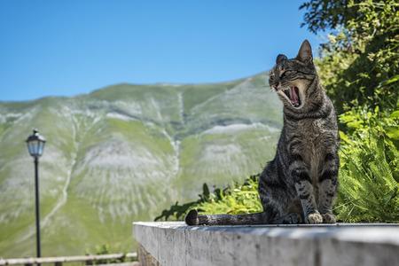 the yawn: Cats yawn Stock Photo