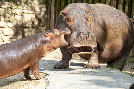 Baby hippo with its mom