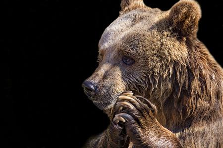 Bear head close-up Stockfoto - 116136164