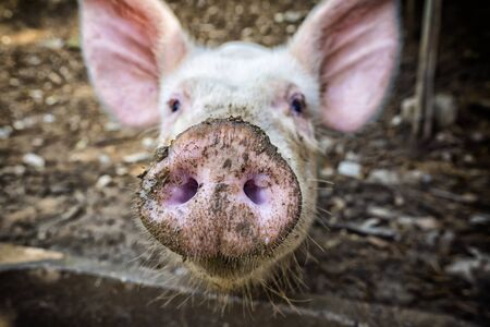 Little Pig face close-up
