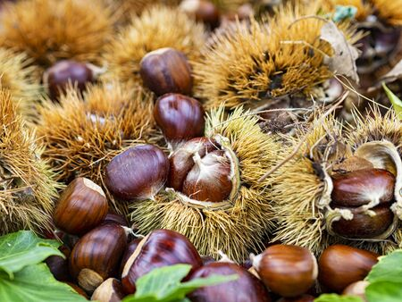 Group of chestnuts typical autumnal fruit