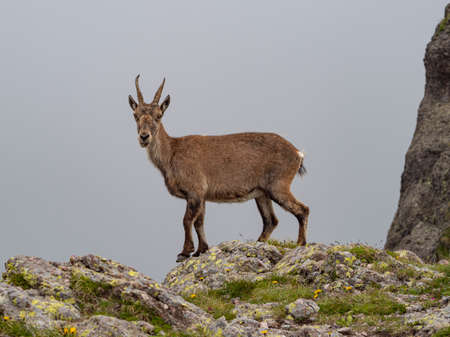 Ibex in the italian alps of Val Gerola Banque d'images