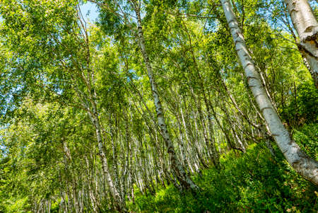 Birch forest in the italian alps