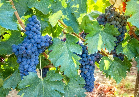 syrah: Some bunch of dark blue grapes on vineyard background. Ripe, juicy vine closeup. Stock Photo