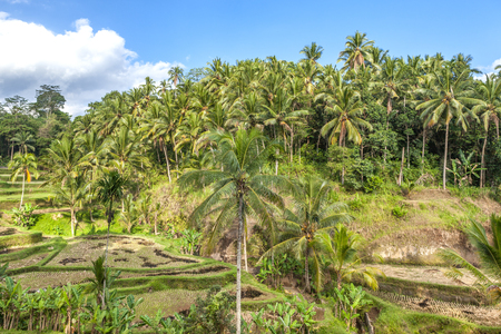 The tropical forest in Bali, Asia. Palm grove, cultivation of coconuts, agricultural area.