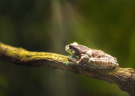 Large brown frog sits on a branch and basks in the sun light. Amphibian in wildlife.