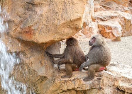 Brown hamadryas baboon sitting on a stone near the waterfall. Couple of two big monkey