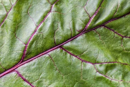 Green leaf of beat, background with texture, macro. Abstract backdrop with nature structure, closeup. Leaves ornament with purple vein.
