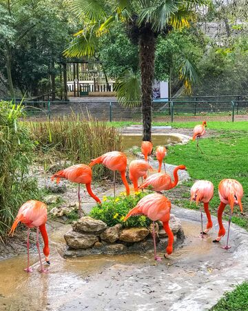 Group of beautiful pink bright flamingo drink water from pond. Exotic red bird in zoo, closeup.