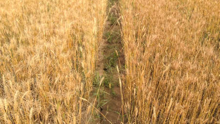 Thin ground path between dense fields with ripe wheat of yellow color under bright sunlight on summer day.