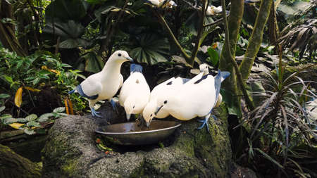 Wild hungry pigeons white and blue color eat from bowl standing on gray stone against dense tropical rain forests and birds. Feeding of beautiful dove in jungle park, closeup. Archivio Fotografico