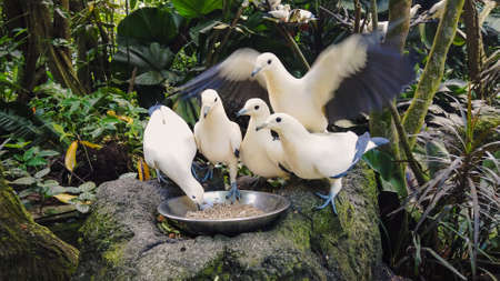 Wild pigeons white and blue color eat from bowl standing on gray stone against dense tropical rain forests. Feeding of dove in jungle park, closeup. Impudent hungry bird.