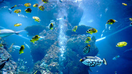 Beautiful, colorful exotic ocean fish yellow, blue and white colors swimming underwater in big aquarium among natural coral reef. Clown triggerfish. Different types of fish.