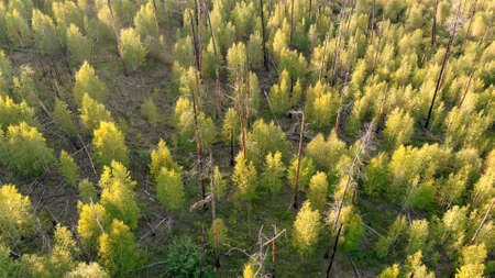 Young trees growing at the site of forest fire. Recovery of the environment after disaster. Dry and burnt tree trunks from top. Aerial view from drone. Nature landscape.